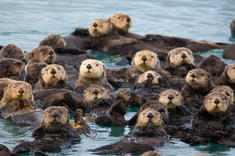 raft of otters.jpeg